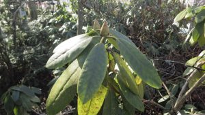 Rhododendron odottaa lämpöä