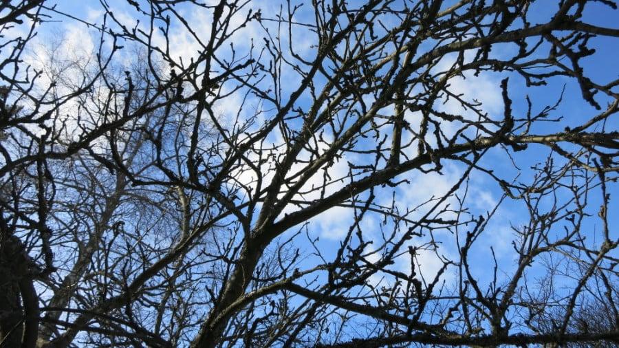 Vanha omenapuu ja sinitaivas