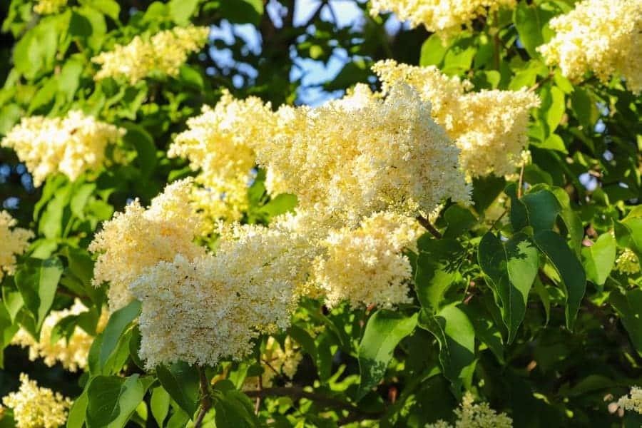 Likusterisyreenin mahtavat kukat