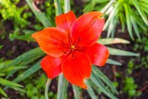 Liljankukka tulenpunainen