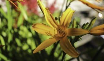 Päivänlilja keltainen