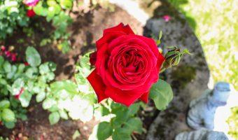 Ruusu kuin rakkaus