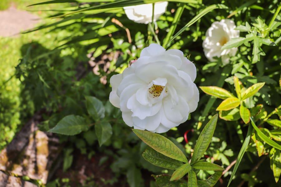Ruusu kuin viattomuus