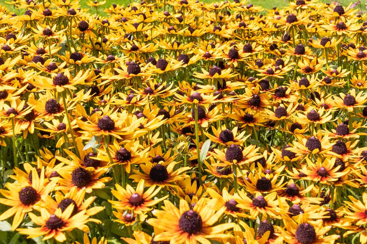 Kesäkuun kukat