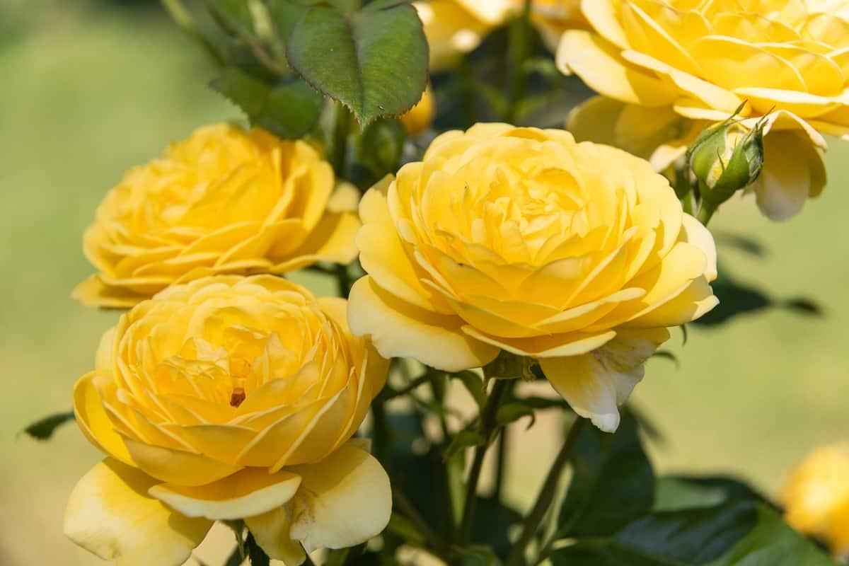 Inka ruusu